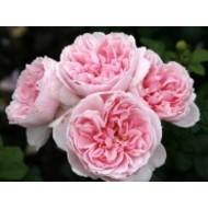 Rosa Cinderella®