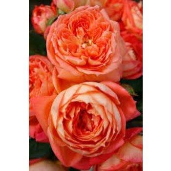 Rosa Queen of Hearts®