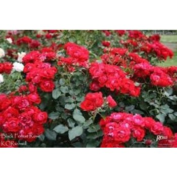 Rosa Black Forest Rose®
