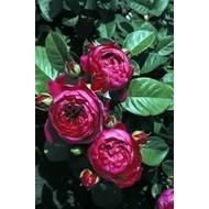 Rosa Ascot®