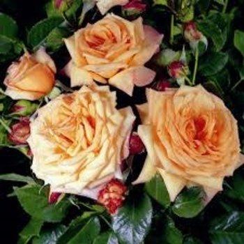 Rosa Barock®
