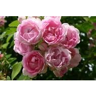 Rosa Jasmina®