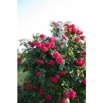 Rosa Laguna®