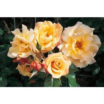 Rosa Moonlight®