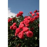 Rosa Rosanna®