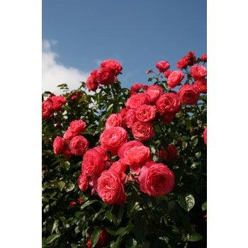 rosa rosanna bestellen sie jetzt. Black Bedroom Furniture Sets. Home Design Ideas