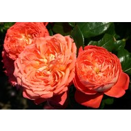 Rosa Queen of Hearts®