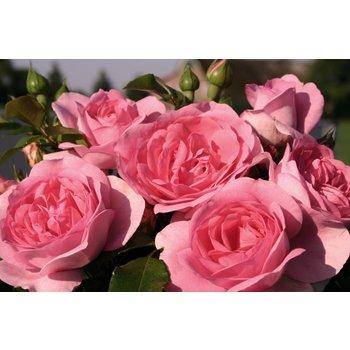 Rosa Rosenfee®