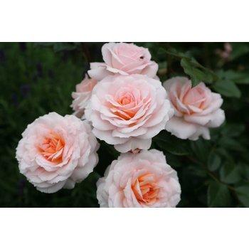 Rosa Schloss Eutin®