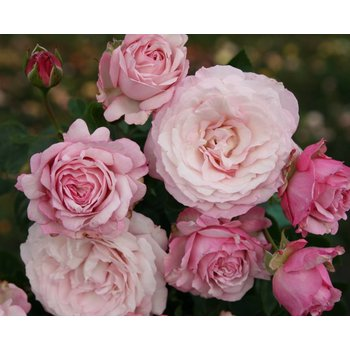 Rosa Rosenfaszination®