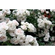 Rosa Aspirin Rose®
