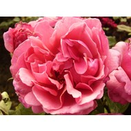 Rosa Line Renaud® (Elbflorenz)