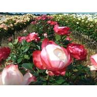 Rosa Nostalgie® - Stammhöhe 60 cm