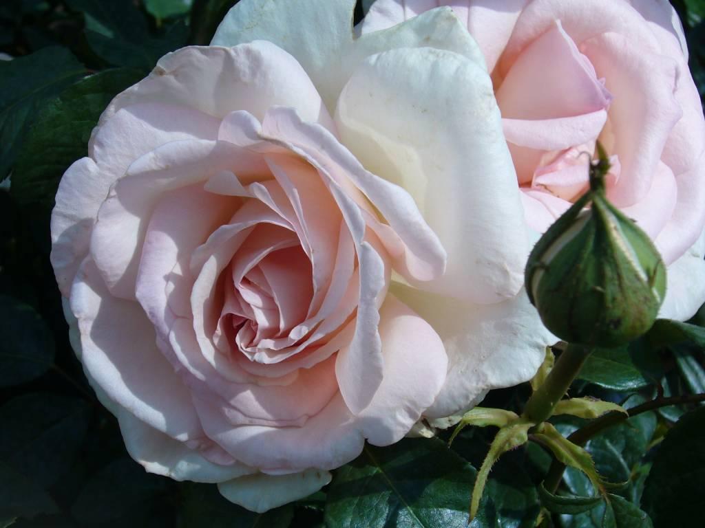 rosa prince jardinier bestellen sie jetzt. Black Bedroom Furniture Sets. Home Design Ideas
