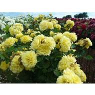 Stamroos Yellow Meilove® - Stamhoogte 60 cm