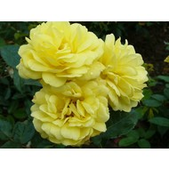 Rosa Yellow Meilove®