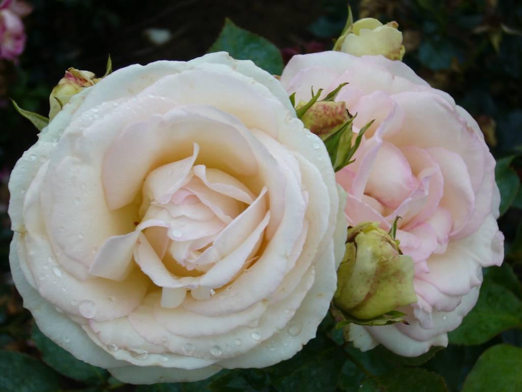 rosa palais royal white eden rose bestellen sie jetzt. Black Bedroom Furniture Sets. Home Design Ideas