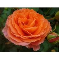 Stamroos Orange Meilove® - Stamhoogte 60 cm