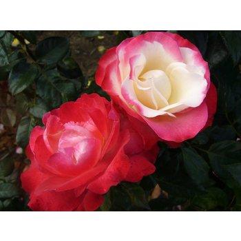 Rosa Nostalgie®