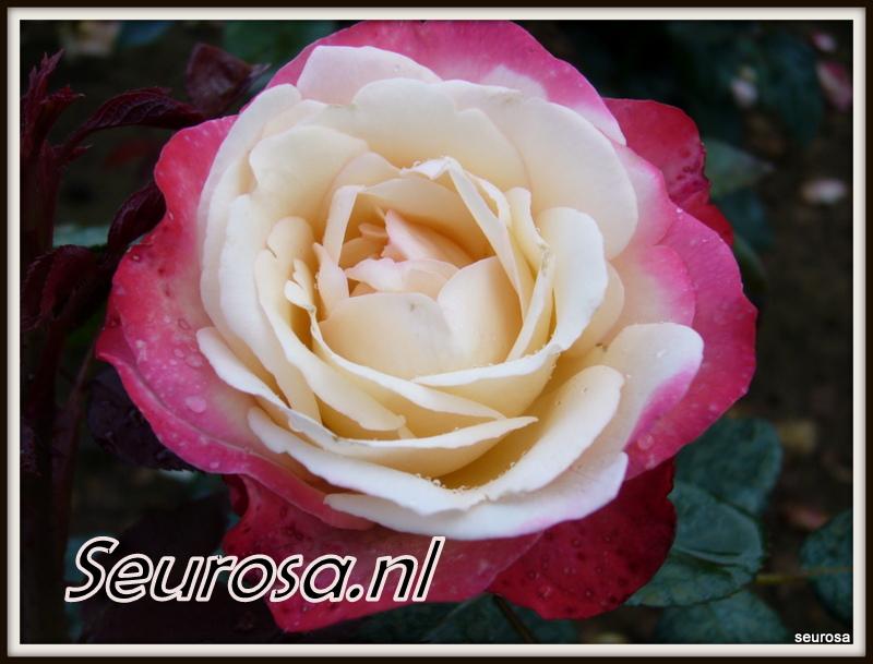 Rosa Nostagie