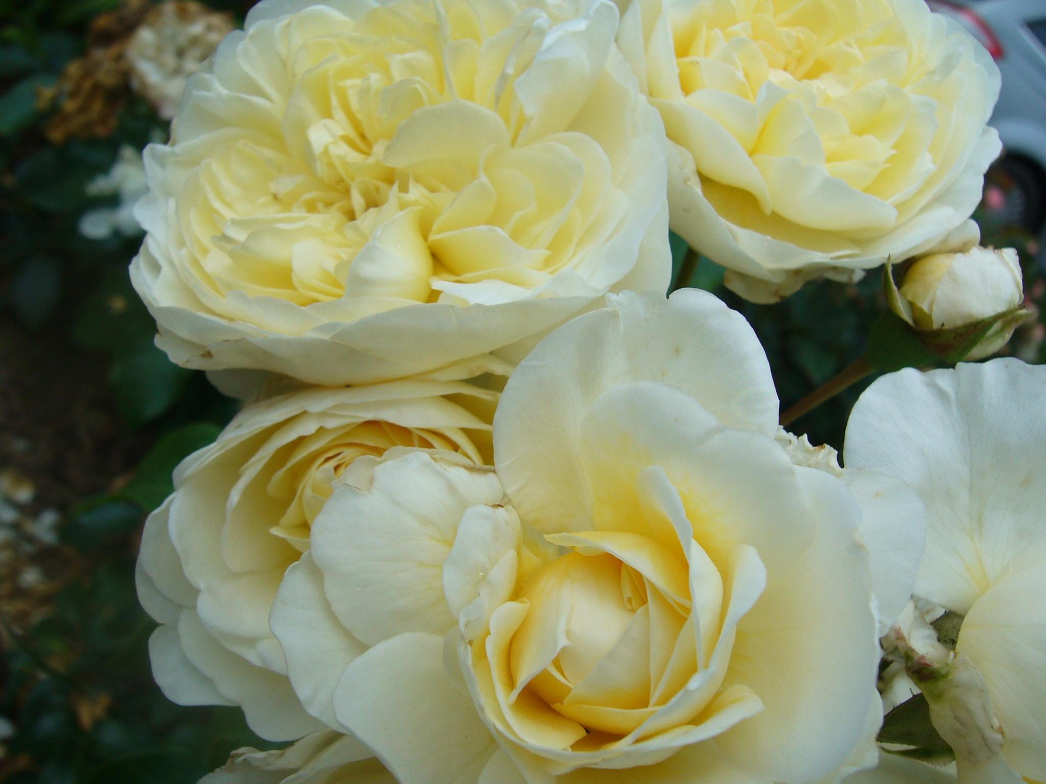 Assortiment rozen