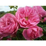 Rosa Leonardo da Vinci®- Stammhöhe 60 cm