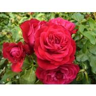Stamroos Rouge Meilove® - Stamhoogte 60 cm