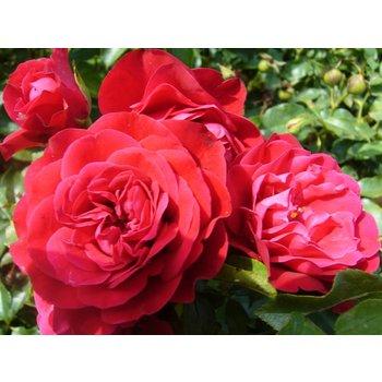 Rosa Red Meilove® - Stammhöhe 60 cm