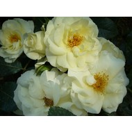Rosa White Meilove® (Lemon Romantica)