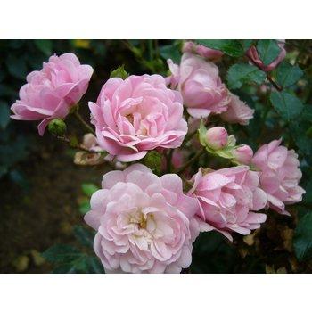 Rosa The Fairy - Stammhöhe 60 cm