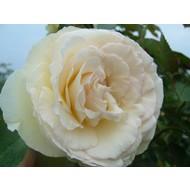 Rosa Palais Royal® (White Eden Rose)