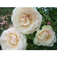 Klimroos Palais Royal® (White Eden Rose)