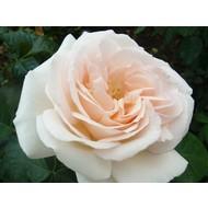 Rosa Prince Jardinier® - Schloss Ippenburg