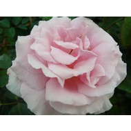 Rosa Frederic Mistral®