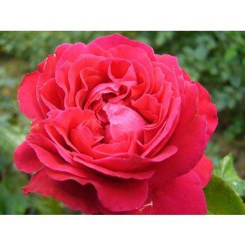Rosa Red Leonardo Da Vinci®
