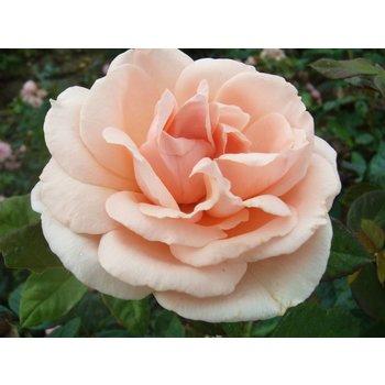 Rosa Maxima Romantica®