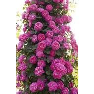 Meilland® Rosa Allegro®