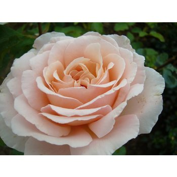 Rosa Andre Le Notre® (Betty White)