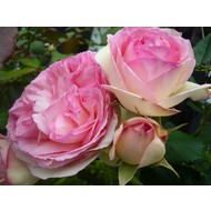 Rosa Eden Rose®
