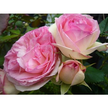 Klimroos Eden Rose®