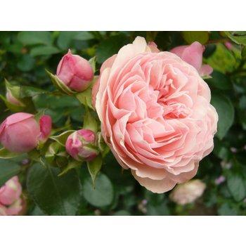 Rosa Rose Meilove® (Sunblaze)