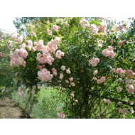 Rosa Climbing Bonica®