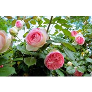 Rosa Mini Eden Rose®