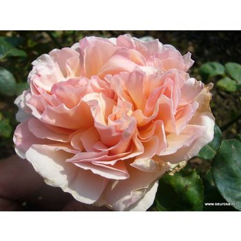 Rosa Princesse Charlene de Monaco®