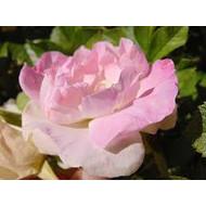 Rosa Polareis