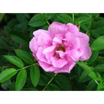 Rosa Pink Roadrunner®