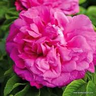 Rosa Purple Roadrunner®