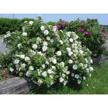 Rosa Schneekoppe
