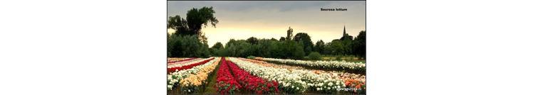 Lottum rozenkwekerij