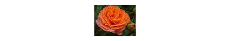Orangen rosen